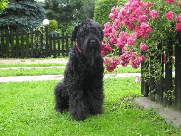 Czarny Terier Rosyjski-szczeniaki