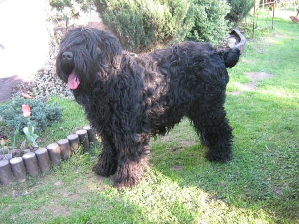 Czarny Terier Rosyjski-szczeniaki 2